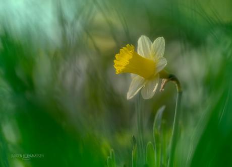 Wilde Narcis.