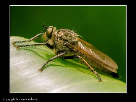 stekelpootroofvlieg - machimus arthriticus.