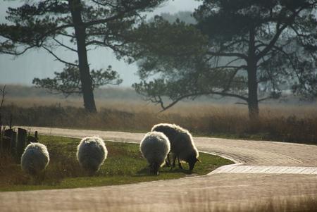 Schapen in tegenlicht - Op de Doldersummer heide. - foto door w.zijlstra10 op 30-03-2012 - deze foto bevat: tegenlicht, schapen, drente, wateren, drents heideschaap