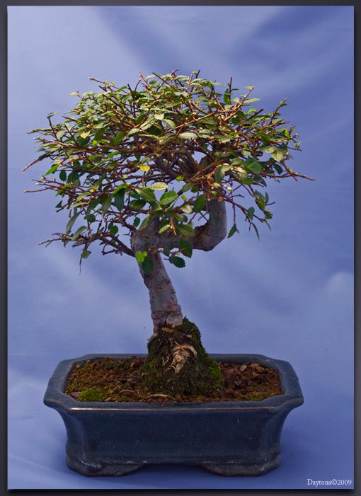 Bonsai 10 - Bonsai(ulmus) - foto door Daytona_zoom op 02-04-2009 - deze foto bevat: boom, bladeren, mos, blad, bomen, takken, tak, stam, takjes, blaadjes, boompje, bonsai, daytona, bonsai-s, bonsaipot, bonsaischaal
