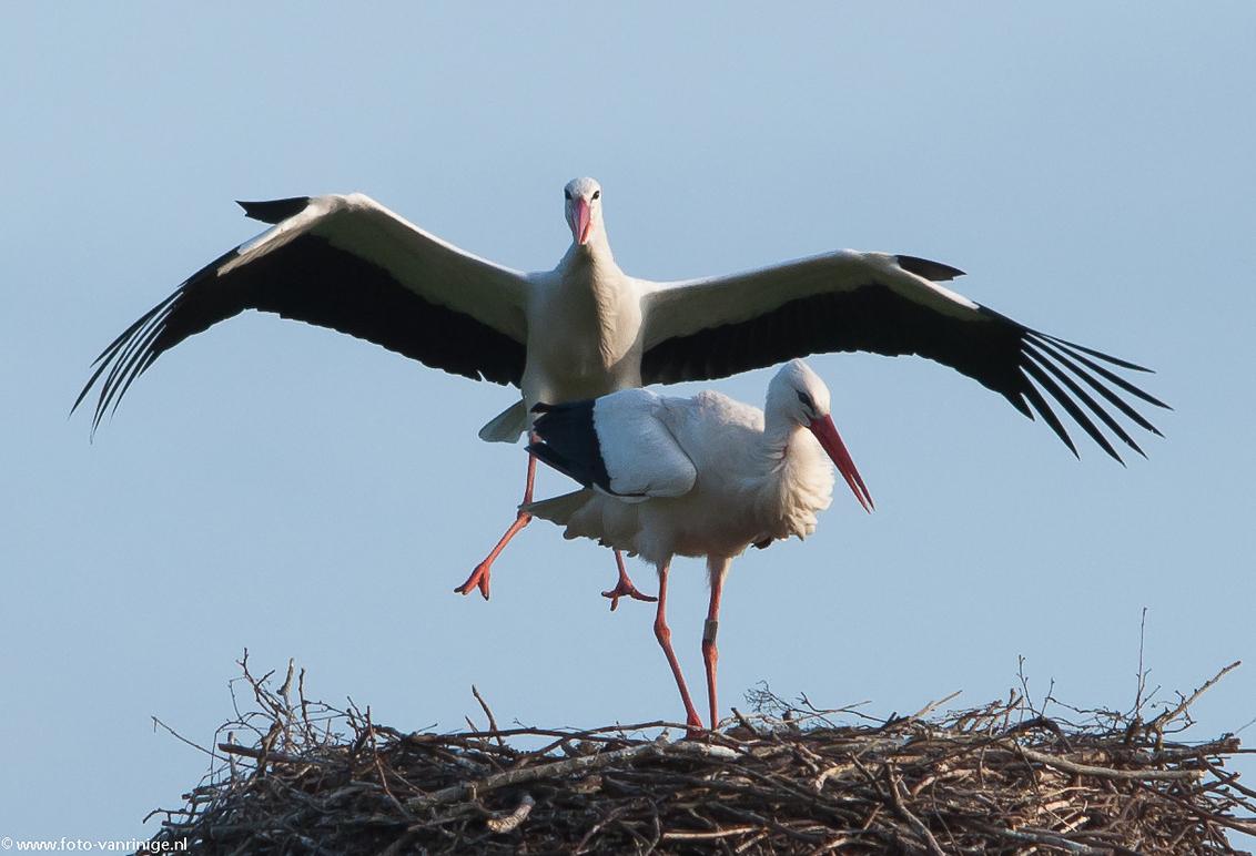 Ooievaar paartje na een rondje vliegen... - Ooievaar paartje - foto door zorbus op 09-04-2011 - deze foto bevat: ooievaar