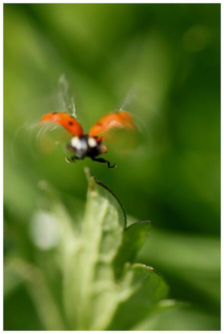 Vliegsport - Een lieveheerstbeestje in vlucht - foto door sjoerdd op 08-05-2011 - deze foto bevat: macro, sport, canon, beweging, wazig, onscherpte, lieveheerstbeestje, vliegsport, 500d, Tamron 90mm f2.8