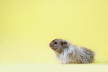 Hamster Milo