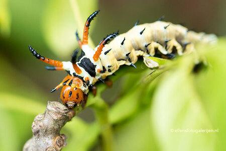 """Hickory Horned Devil - De rups van de """"Hickory Horned Devil"""", Deze rups vervelt 6x, waarbij ze er elke keer anders uit komt te zien. Uiteindelijk wordt ze 15 cm lang en gr - foto door ellen-zeist op 17-07-2015 - deze foto bevat: groen, macro, natuur, oranje, rups, insect, vlindertuin, dof"""