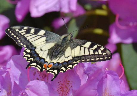 Papilio Machaon (Koninginnenpage)