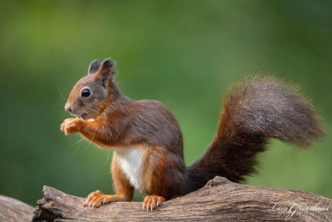Eekhoorn - - - foto door LGphotography op 26-10-2020 - deze foto bevat: natuur, herfst, eekhoorn, bos