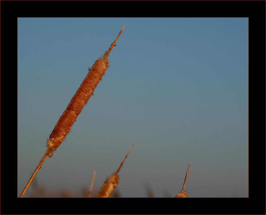 Sigaartje...? - Bij Kinderdijk staan deze mooie 'sigaren'langs het water. Met de wind was het moeilijk om ze goed op de foto te krijgen, maar deze is toch gelukt... - foto door Foto_Marleen op 06-01-2009 - deze foto bevat: kleur, natuur, sigaren