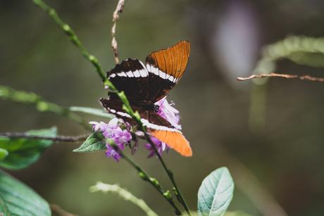 Bruin-oranje vlinder in Quindío