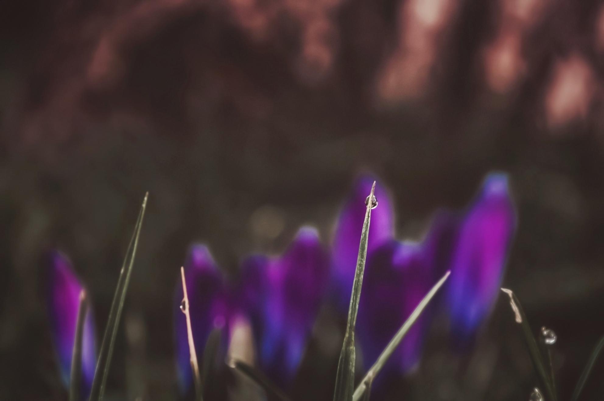 Druppel II; Nikon of IPhone? - Een van beiden is met de iPhone gemaakt, de ander met mijn Nikon D5000, maar welke is waarmee gemaakt? ;) - foto door Ogenblikfoto op 27-02-2021 - deze foto bevat: paars, macro, bloem, lente, natuur, druppel, licht, krokus, dauw, bokeh - Deze foto mag gebruikt worden in een Zoom.nl publicatie