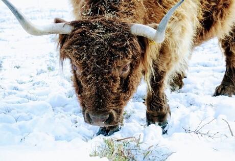 Hoeven in de sneeuw