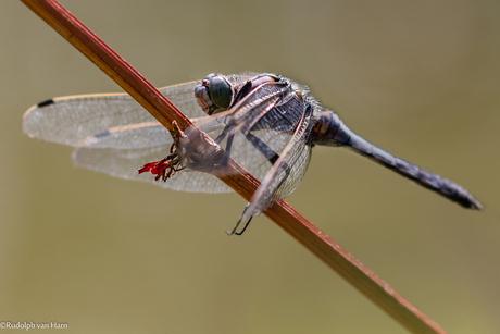 Libelle op een tak, bij het water