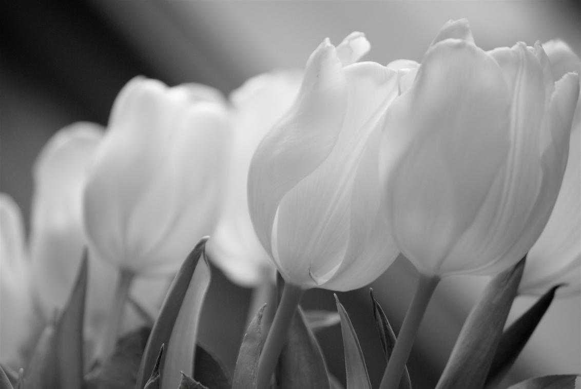 tulpen - tulpen in de huiskamer, gefotografeerd met daglicht en omgezet naar zwartwit. - foto door rob2742 op 29-01-2012 - deze foto bevat: tulpen, daglicht, zwartwit