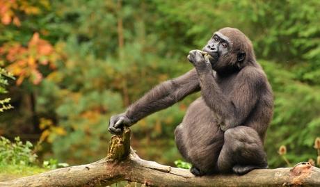Nagelbijtende gorilla.