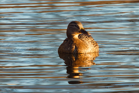 Nog eendje dan - Door de laagstaande namiddag zon werd deze eend mooi goud bruin gekleurd.   Alle zoomers, zoomvrienden en -volgers, bedankt voor de waardering, tip - foto door PaulvanVliet op 04-03-2021 - deze foto bevat: zon, water, natuur, bruin, dieren, eend, goud, watervogel, zoetermeer, noor aa plas