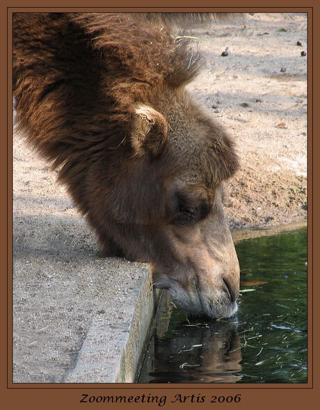 Slurpende kameel in Artis