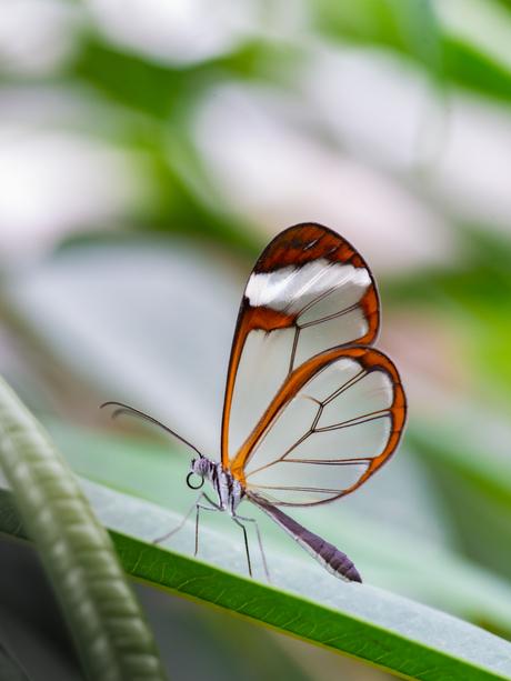 Botanische tuinen - Utrecht - glasvlinder