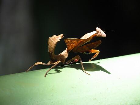 Sprinkhaan op Borneo