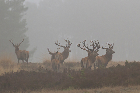 Edelherten in de mist!