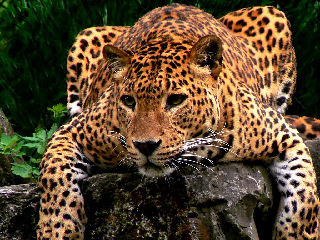 Luipaard restyled - Zie hier het resultaat. Hek op de achtergrond verwijderd om het wat natuurlijker te laten lijken. De kleurzweem weggehaald, gespeeld met contrasten  - foto door daniel44 op 20-06-2006 - deze foto bevat: jachtluipaard, luipaard, luipaard, jachtluipaard, roofdie