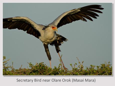 Secretary Bird bij Olare orok
