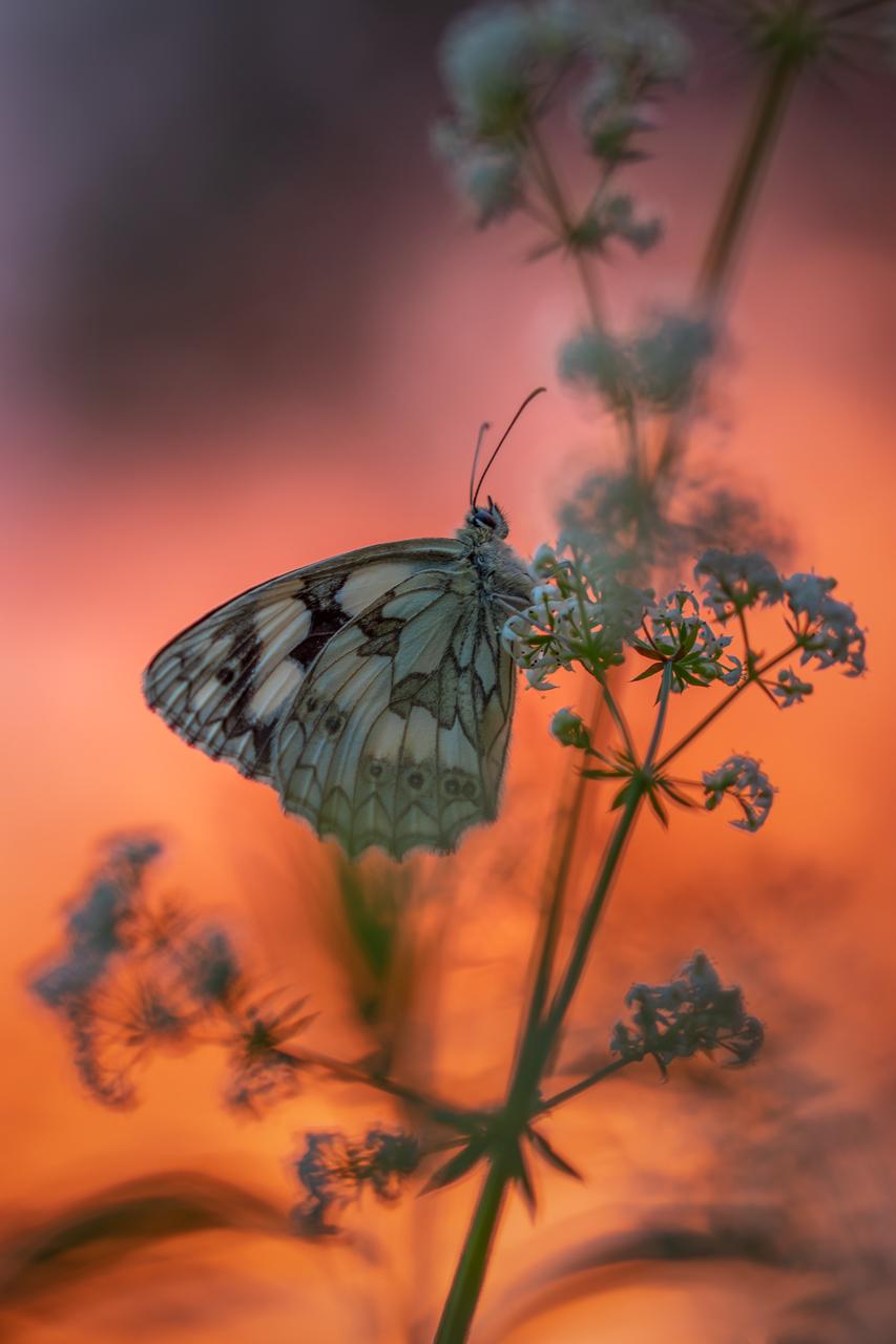 In vuur en vlam - Afgelopen weekend met Dianne (amyl) naar Viroinval geweest, uiteraard voor de vlinders en de eerste avond kwamen we al dambordjes tegen en met de ond - foto door peacefull op 10-07-2019 - deze foto bevat: macro, bloem, natuur, vlinder, oranje, insect, dambordje, bokeh, viroinval, johan van opstal