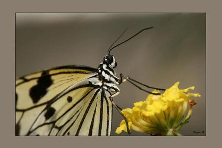 vlindertje - orchideeënhoeve Luttelgeest, binnenkort eens kijken in een nieuwe vlindertuin in Fuengirola, Spanje gr Regina - foto door edreg op 31-01-2012 - deze foto bevat: vlinder, sulley