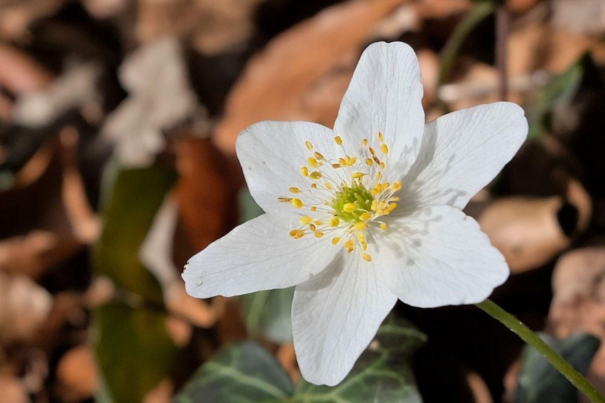Bosanemoon - Allen bedankt voor jullie reactie,s.  Geen softe uitvoering maar puur zo die gaat..  gr jenny.... - foto door jenny42 op 11-04-2018 - deze foto bevat: groen, wit, bloem, lente, natuur, geel, blad, landschap, voorjaar, nederland, herfstblad, anemoon, dickninge, de Wijk, havezate.