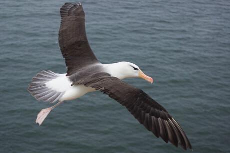 Vliegende Wenkbrauwalbatros