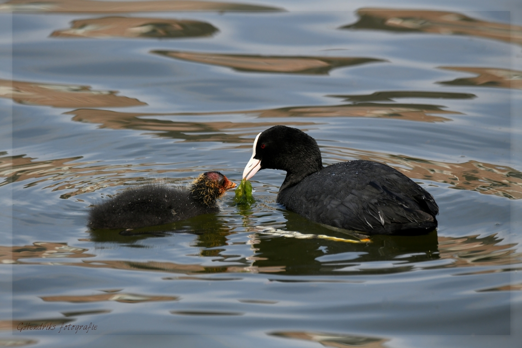 Moeder en kind - - - foto door gerrieg1 op 12-07-2018 - deze foto bevat: natuur, dieren, vogel, watervogel