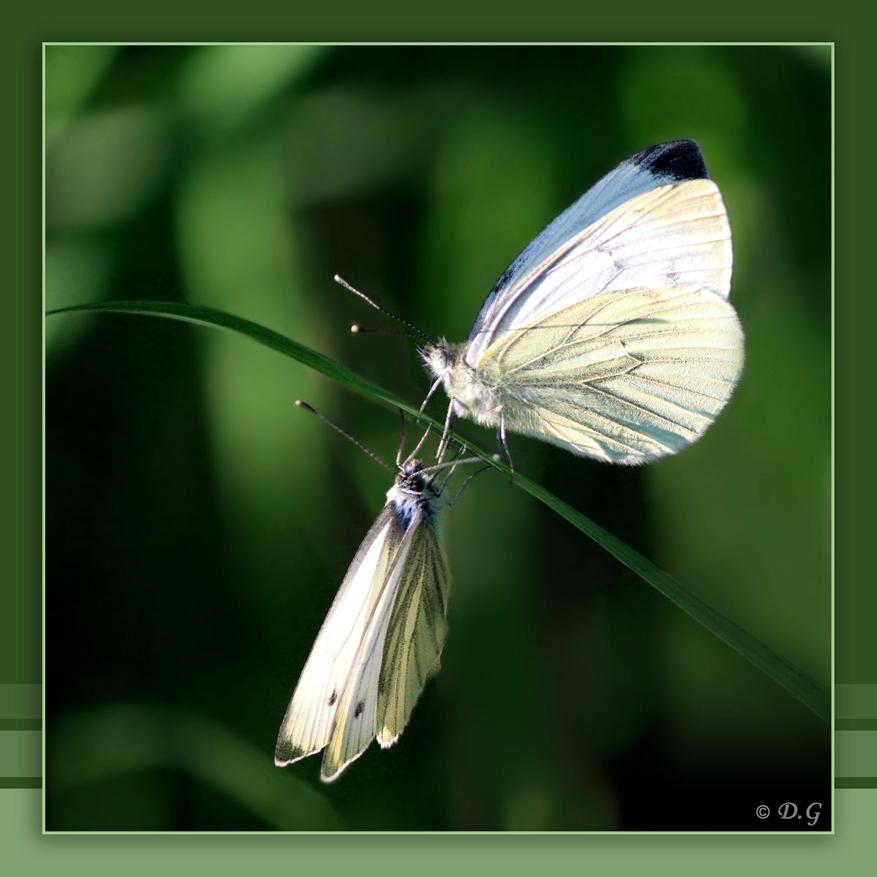 Reflection - Met alle acrobatische toeren van dit duo (waarschijnlijk klein geaderde witjes) in de lucht, was het (zoals verwacht) niet makkelijk om ze op de foto - foto door daniel44 op 14-08-2009 - deze foto bevat: gras, spiegel, vlinder, dieren, insect, witje, duo, daniel44