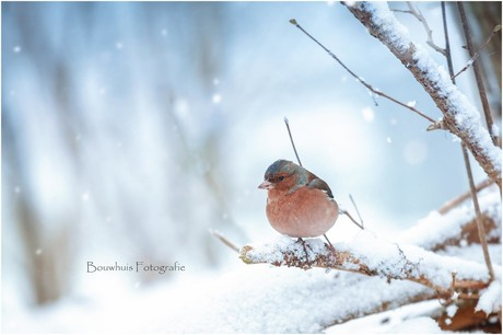 Snowy Vink