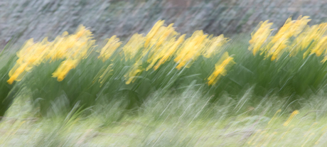 Narcissen in het gras.