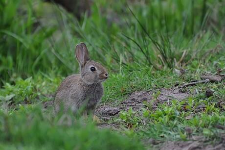 bugs bunny (junior)