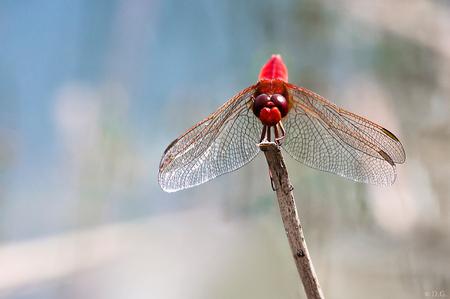 Vuurlibel - Juli 2012, Kuinderbos  Toch maar weer eens een zomers plaatje om de winter door te komen. Een tipgever wees me op de aanwezigheid van de Vuurlibel. - foto door daniel44 op 30-12-2012 - deze foto bevat: rood, libelle, vleugels, libel, insect, vuurlibel