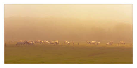 Koeien weer buiten.....