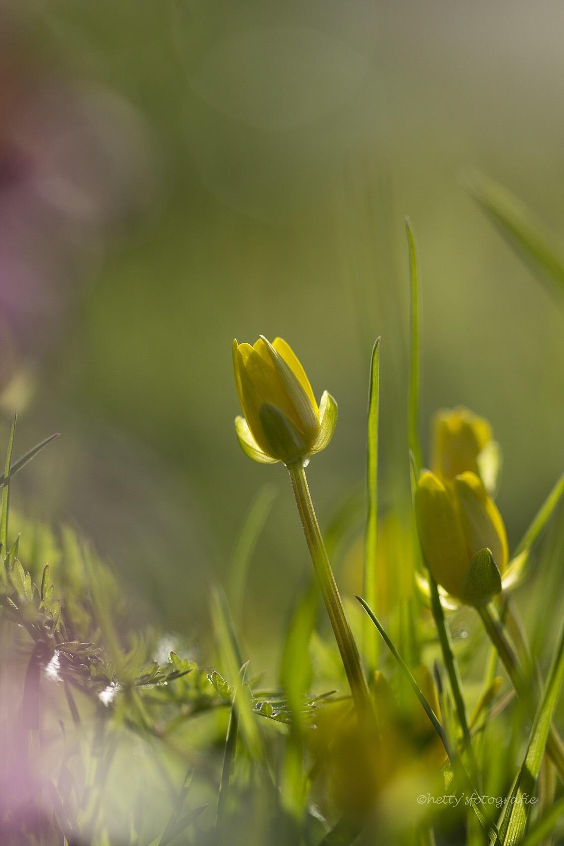 Ik ben.... - - - foto door hettysfotografie op 14-04-2015 - deze foto bevat: bloem, lente, natuur, geel, blad, tegenlicht