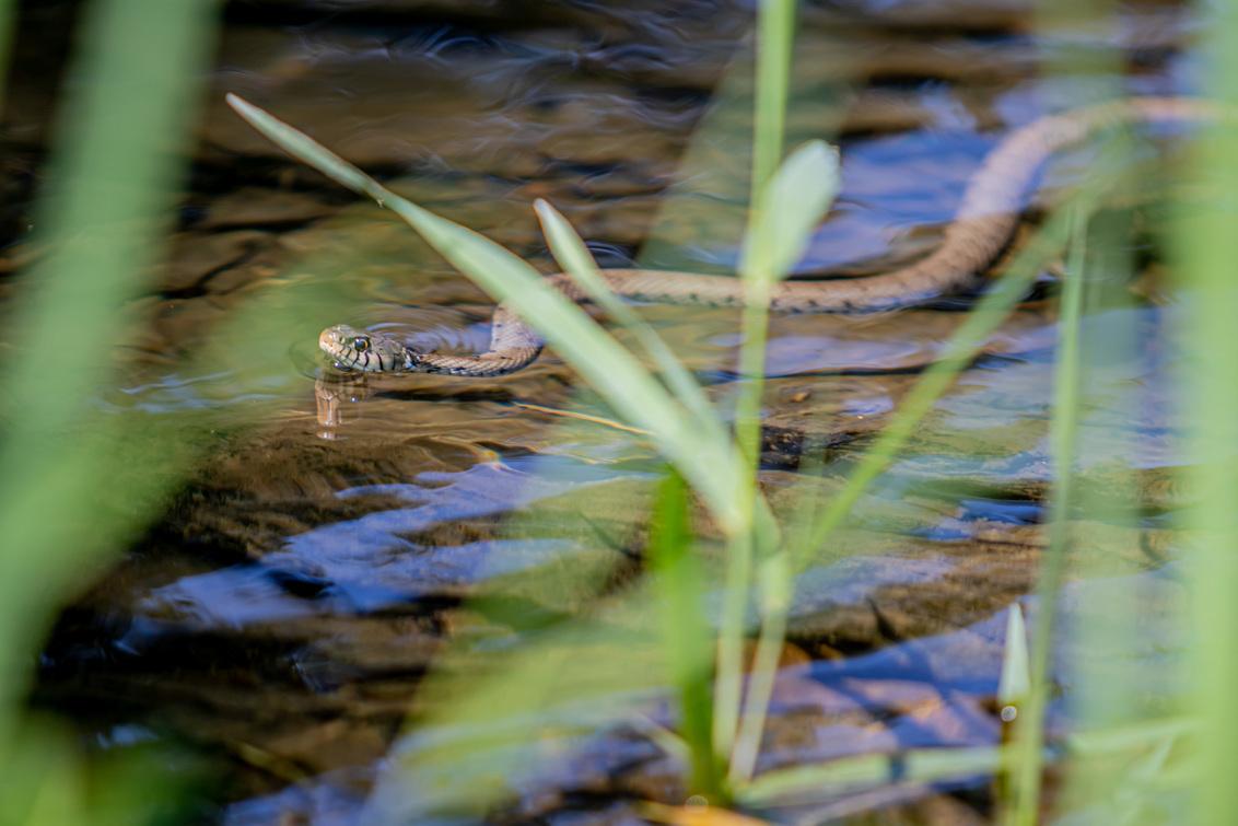 En plots was daar... - Deze kwam plots aangezwommen terwijl we aan het kuieren waren langs het water. - foto door Deblauwes op 11-08-2020 - deze foto bevat: water, natuur, dieren, slang, reptiel, ringslang, waterslang