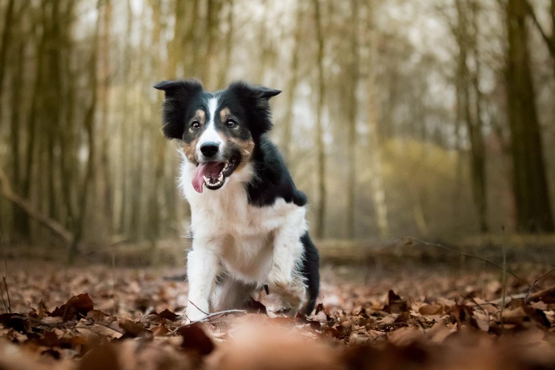 Bo - - - foto door Melissa14 op 01-03-2021 - deze foto bevat: natuur, huisdier, bos, hond, Border Collie