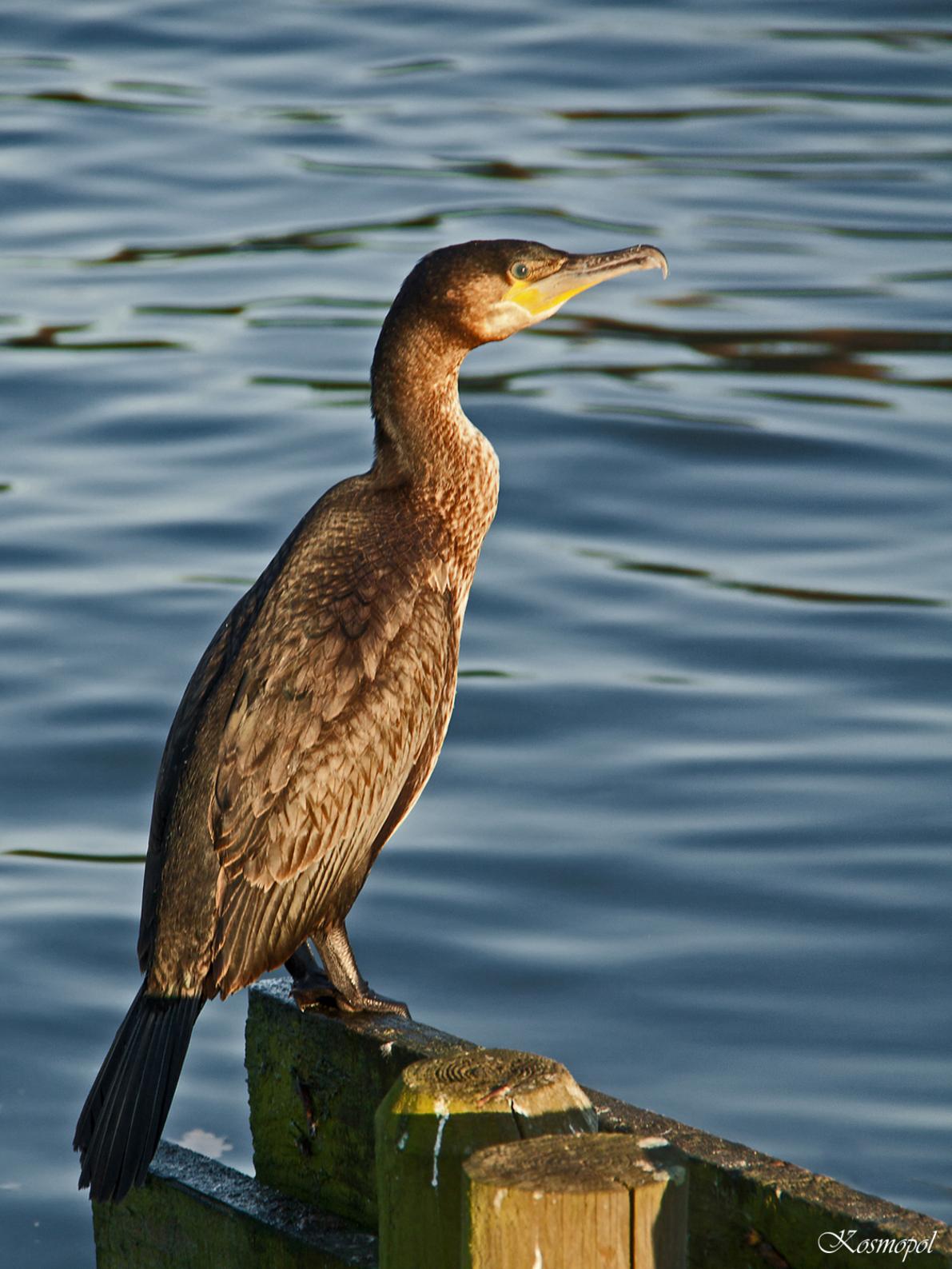 Aalscholver - Aalscholver… nog zo'n vogel waar ik al zo lang vruchteloos achter aan het jagen was… ze zijn zo schuw en achterdochtig, als je iets te dicht komt zij - foto door kosmopol op 30-11-2011 - deze foto bevat: water, aalscholver, vogel, kosmopol