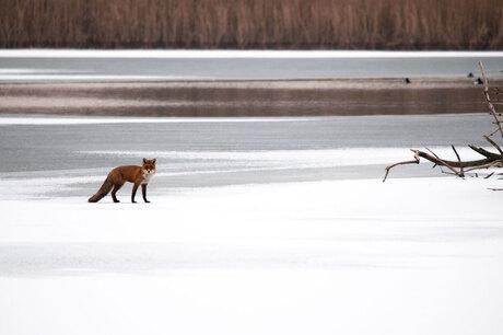 Mijn eerste vos van een afstand...