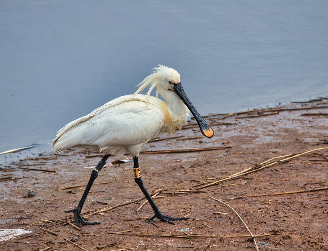 IJdele lepelaar - Beetje ijdele lepelaar bij het Robbenoordbos. - foto door Waltherwb op 03-04-2021 - deze foto bevat: water, dieren, lepelaar, watervogel