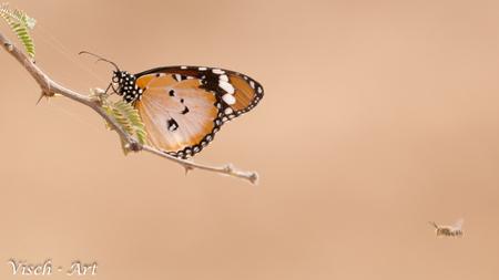 Afrikaanse Monarch vlinder - Afrikaanse Monarch vlinder in Bogandé - foto door visch-castle op 02-05-2015