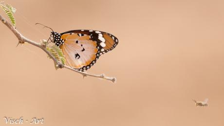 Afrikaanse Monarch vlinder