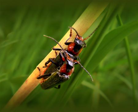 Bugs Love - Deze 2 'weekschild kevers' hadden elkaar wel gevonden ;) - foto door daniel44 op 05-06-2007 - deze foto bevat: macro, dieren, insecten, liefde, kevers, daniel44, weekschild