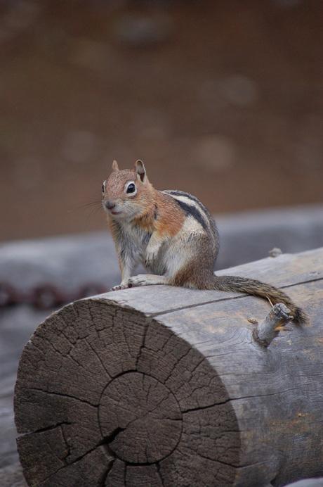 ground squirl