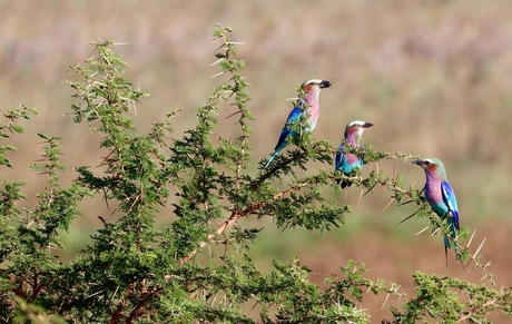 3 x Lilac Breasted Roller