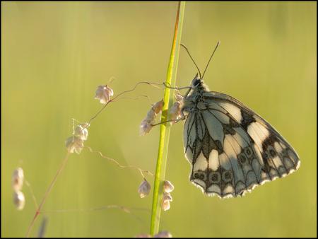 Dambordje - Dambordje - foto door alex-52 op 14-09-2019 - deze foto bevat: vlinder, dambordje, Melanargia galathea