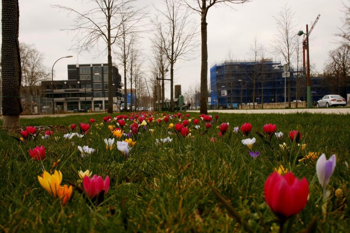 Lente in Maastricht - Lente In Maastricht de eerste Krokussen op de groeneloper. - foto door Smeets op 25-03-2021 - deze foto bevat: lente