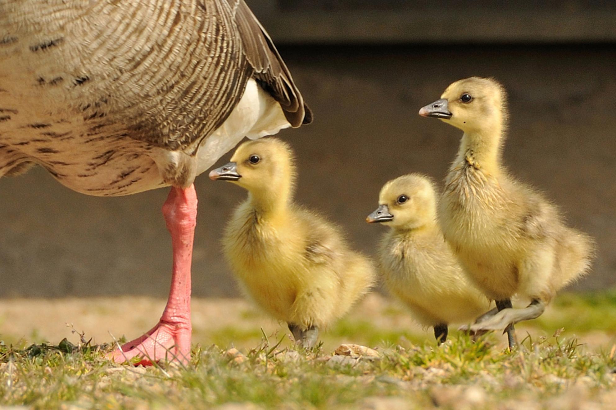 Jonge ganzen - Jonge ganzen volgen de ouders - foto door sukkeltje op 24-04-2011 - deze foto bevat: voorjaar, oostvaardersplassen, pulletjes, Jonge ganzen