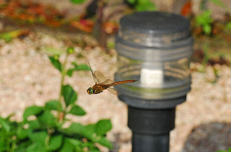 Libelle gevangen
